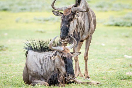 migrate: Two Blue wildebeests in the grass in the Kalagadi Transfrontier Park, South Africa. Stock Photo
