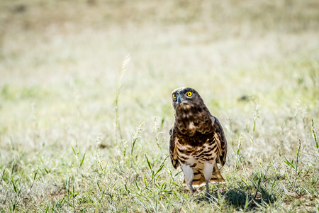zopilote: Juvenile Black-chested snake eagle standing in the grass in the Kalagadi Transfrontier Park, South Africa.