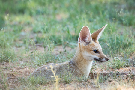 scavenger: Close up of a Cape fox in the Kalagadi Transfrontier Park, South Africa. Stock Photo