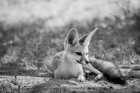 Cape fox laying down in the sand in black and white in the Kalagadi Transfrontier Park, South Africa.