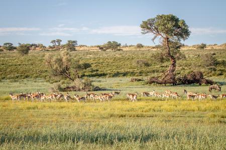 bovidae: Herd of Springboks standing in the grass in the Kalagadi Transfrontier Park, South Africa.