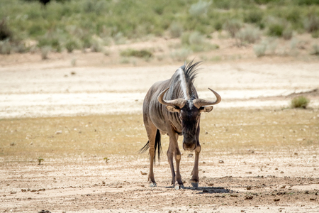 herbivores: Blue wildebeest standing in the sand in the Kalagadi Transfrontier Park, South Africa.