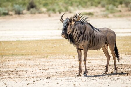 Blue wildebeest standing in the sand in the Kalagadi Transfrontier Park, South Africa.