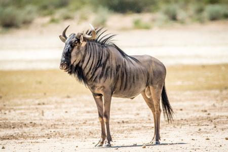 Blauwe wildebeest die zich in het zand bevindt in het Kalagadi Transfrontier Park, Zuid-Afrika.
