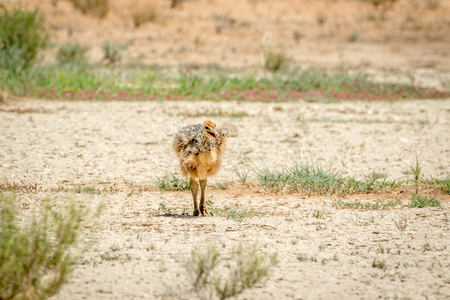 ostrich chick: Ostrich chick walking in the sand in the Kalagadi Transfrontier Park, South Africa. Stock Photo