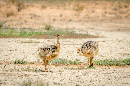 ostrich chick: Ostrich chicks walking in the sand in the Kalagadi Transfrontier Park, South Africa. Stock Photo