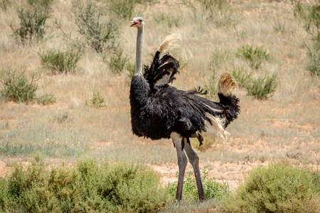 Male Ostrich displaying in the sand in the Kalagadi Transfrontier Park, South Africa.