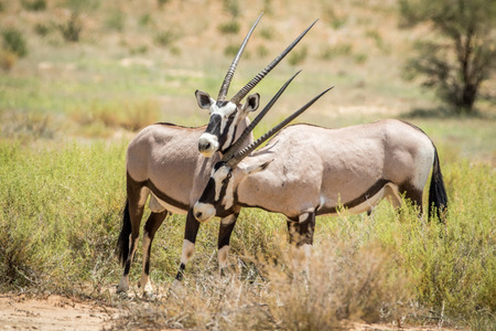 game drive: Two Oryx bonding in the Kalagadi Transfrontier Park, South Africa. Stock Photo