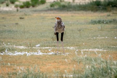 savannas: Secretary bird on a kill in the grass in the Kalagadi Transfrontier Park, South Africa.