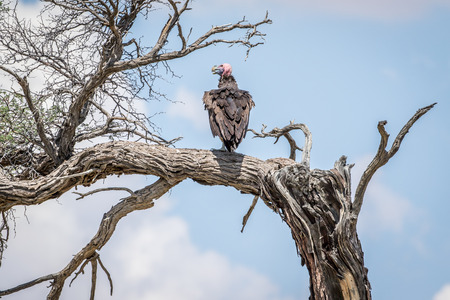 Lappet-faced vulture on a branch in the Kalagadi Transfrontier Park, South Africa. Stock Photo