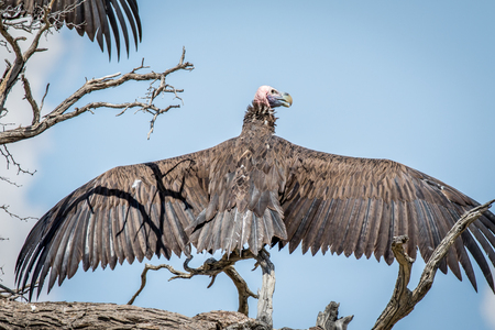 Lappet-faced vulture spreading his wings in the Kalagadi Transfrontier Park, South Africa. Stock Photo