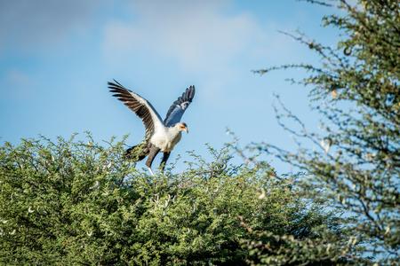 savannas: Secretary bird in a tree in the Kalagadi Transfrontier Park, South Africa.