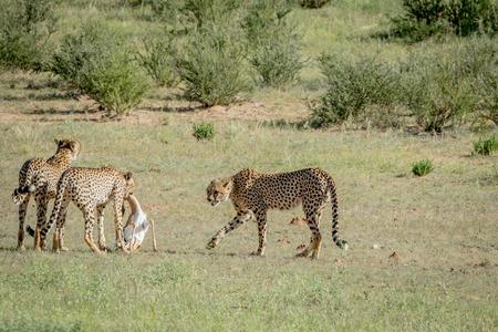 Three Cheetahs on a Springbok kill in the Kalagadi Transfrontier Park, South Africa.