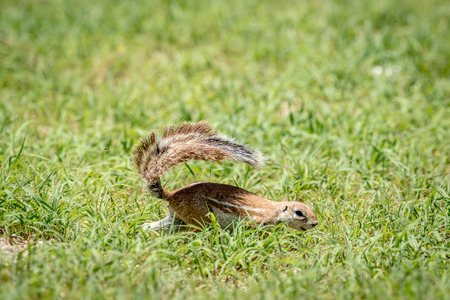 Ground squirrel running in the grass in the Kalagadi Transfrontier Park, South Africa.