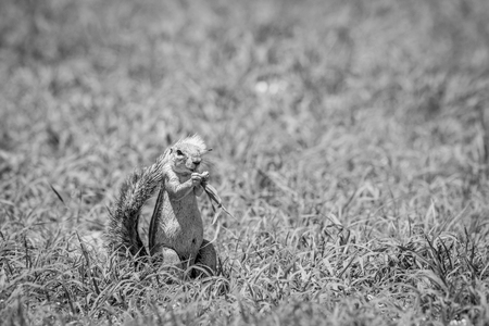 Ground squirrel eating grass in black and white in the Kalagadi Transfrontier Park, South Africa.
