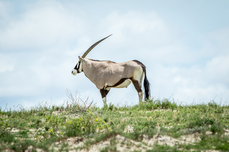 Oryx standing on a ridge in the Kalagadi Transfrontier Park, South Africa.