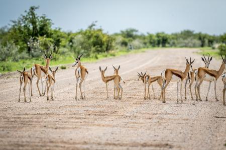 スプリングボックの群れナミビア ・ エトーシャ国立公園の砂利道に立っています。 写真素材