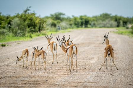 grazer: Herd of Springboks standing on a gravel road in the Etosha National Park, Namibia. Stock Photo