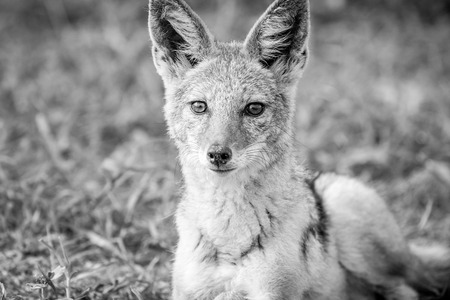 Black-backed jackal starring at the camera in black and white in the Etosha National Park, Namibia.