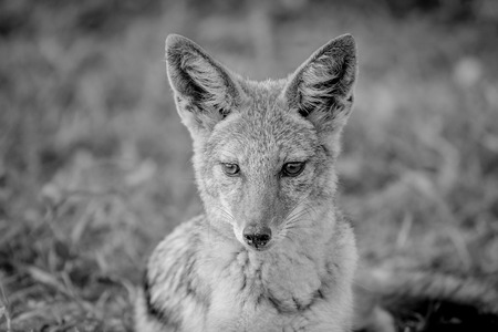 Black-backed jackal starring at something in black and white in the Etosha National Park, Namibia.