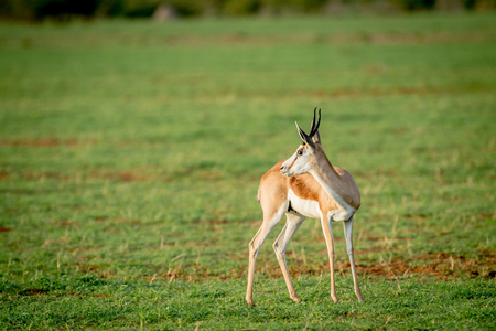 bovidae: Side profile of a Springbok standing in the grass in the Etosha National Park, Namibia.