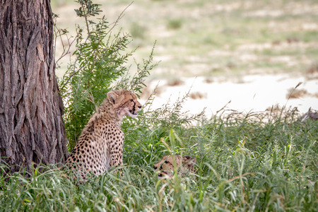 Two Cheetahs in the high grass under a tree in the Kalagadi Transfrontier Park, South Africa.