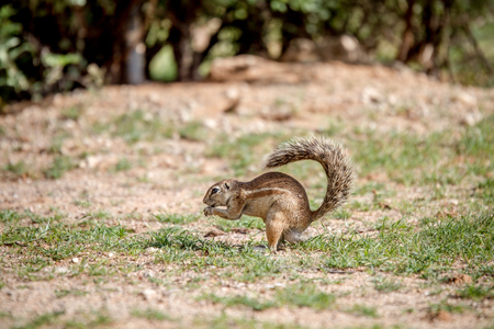 Ground squirrel eating some grass in the Kalagadi Transfrontier Park, South Africa. Stock Photo