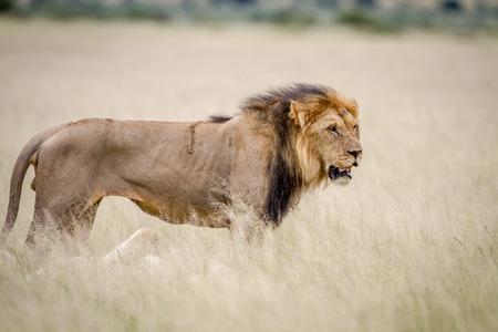 中央カラハリ、ボツワナに高い草で大きな雄ライオンが立って。