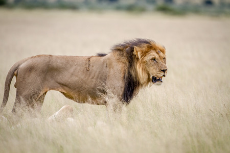 Big male Lion standing in the high grass in the Central Kalahari, Botswana.