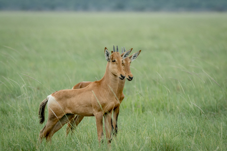 Red hartebeest calves standing in the grass in the Etosha National Park, Namibia. Stock Photo