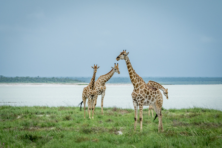 Group of Giraffes standing in the grass next to a water dam in the Etosha National Park, Namibia.