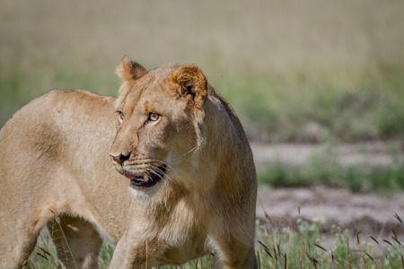 Side profile of a young male Lion in the Central Kalahari, Botswana. Stock Photo