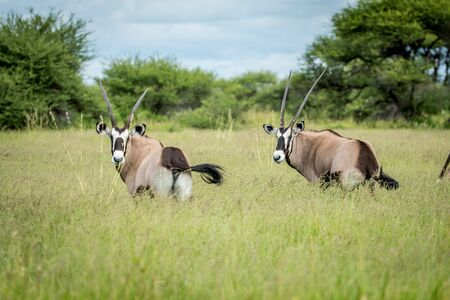 Two Oryx standing in the grass in the Central Kalahari, Botswana. Stock Photo