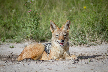 Black-backed jackal laying in the sand in the Central Kalahari, Botswana.