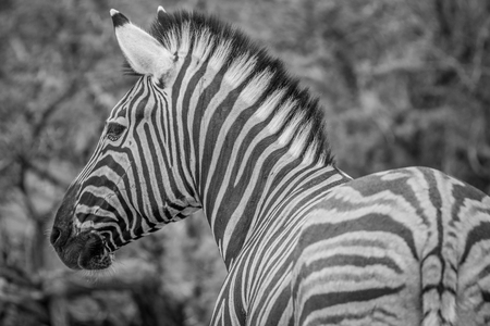 Side profile of a Zebra in black and white in  the Etosha National Park, Namibia.