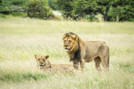 reproduce: Lion mating couple in the grass in the Central Kalahari, Botswana.