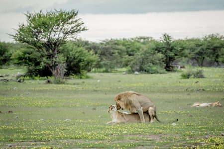 reproduce: Lions mating in the grass in the Etosha National Park, Namibia.