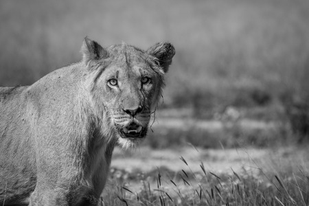 Starring young male Lion in black and white in the Central Kalahari, Botswana.