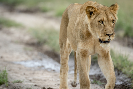 Lion walking towards the camera in the Central Kalahari, Botswana.