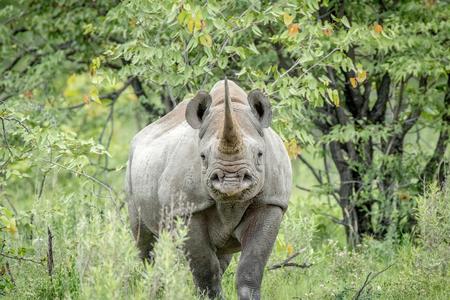Black rhino starring at the camera in the Etosha National Park, Namibia. Reklamní fotografie