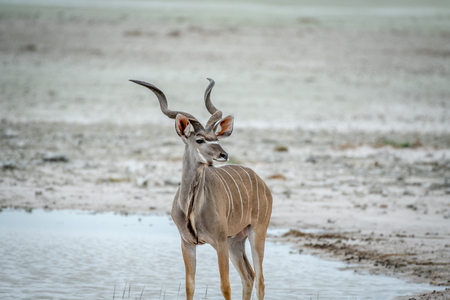 Male Kudu standing at water in the Etosha National Park, Namibia.