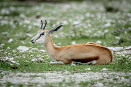 Springbok laying in the grass in the Etosha National Park, Namibia.