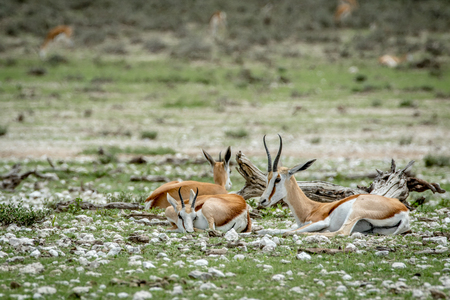 Group of Springboks laying in the grass in the Etosha National Park, Namibia.