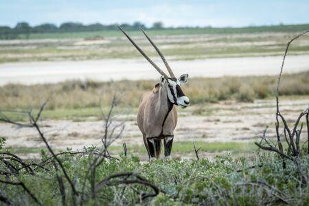 Oryx starring at the camera in the Etosha National Park, Namibia. Stock Photo