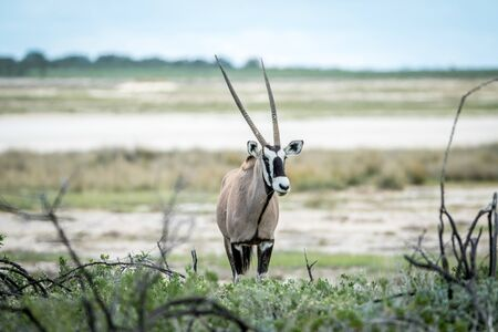 Oryx starring at the camera in the Etosha National Park, Namibia. Stock Photo