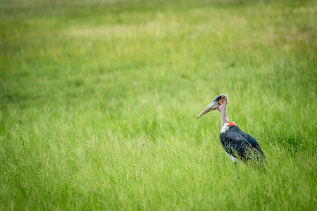 Marabou stork standing in the high grass in the Etosha National Park, Namibia.