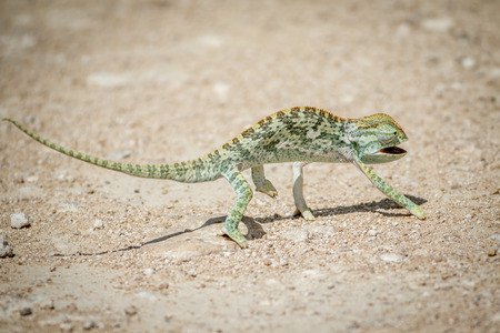 Flap-necked chameleon walking in the gravel in the Etosha National Park, Namibia. Stock Photo