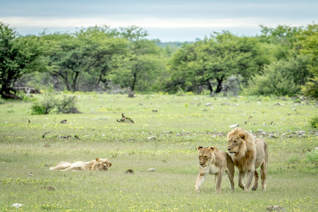 Lion mating couple walking in the grass in the Etosha National Park, Namibia. Stock Photo