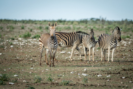 Herd of Zebras standing in the grass in the Etosha National Park, Namibia. Stock Photo