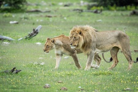 Mating couple of Lions in the grass in the Etosha National Park, Namibia.